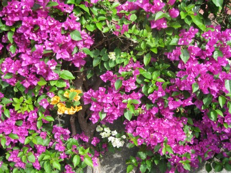 025 Funchal bot. Garten Begonvillen